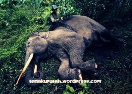 Para gajah yang tak berdaya menghadapi gencarnya corporasi/konglomerasi menggerus habitat mereka, menjadi ladang-ladang perkebunan sawit/karet dan lain-lain, atau pemburu ganas yang mengincar gading mereka, demi mengejar keuntungan ekonomi.